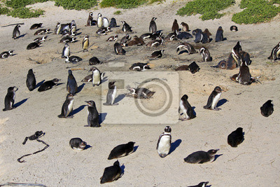 Colonia africana Pingüino