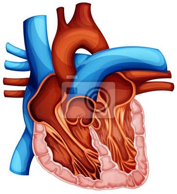 Corazón humano carteles para la pared • pósters pulmonar, atrio ...