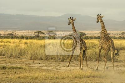 Corrono che Giraffe