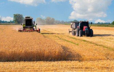 Póster Cosechadora y el trigo cosecha tractor en día soleado de verano