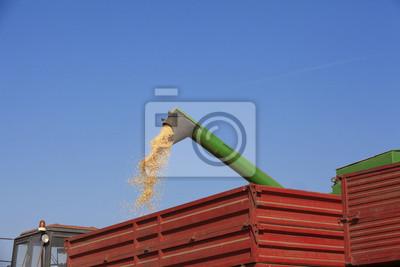 Cosechadoras derrama semillas de maíz de maíz en al remolque del tractor