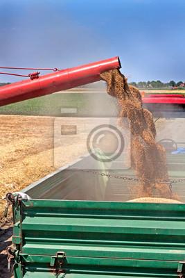 Cosechadoras descarga de trigo recién cosechado