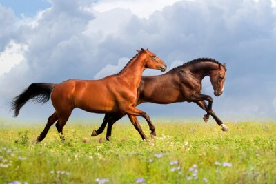 Póster Couple horses run gallop on gree grass with flowers at summer day