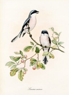 Póster Couple of white and bluish birds on a single isolated branch rich of leaves and berries. Old colorful illustration of Lesser Grey Shrike (Lanius minor). By John Gould publ. In London 1862 - 1873