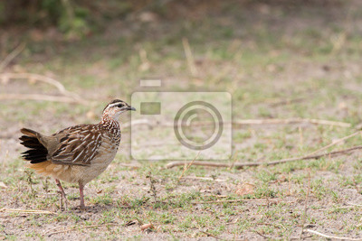Crested francolin perfil