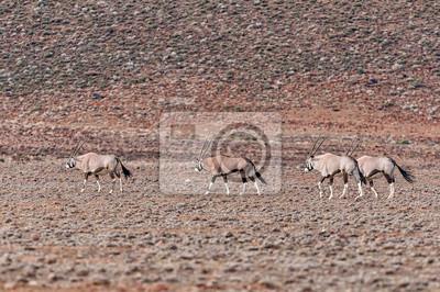 Cuatro oryx, Oryx gazella, en el Tankwa Karoo