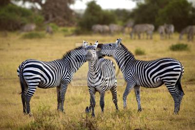 de cebra en África caminando en la sabana