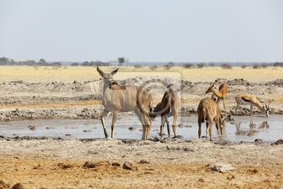 De Kudu en el pozo de agua en Nxai Pan NP