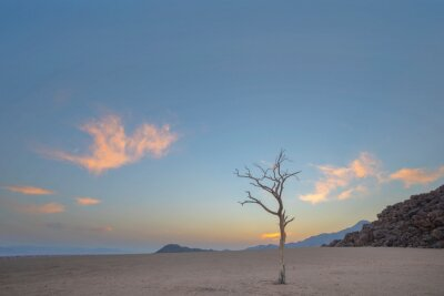 Dead acacia tree in arid desert