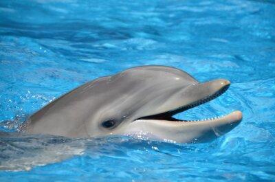 Póster Delfín mular con la boca abierta