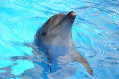 Póster delfín nariz de botella en el agua azul