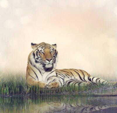 Póster Descanso masculino del tigre