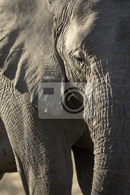 Detalles de un elefante de pastoreo.