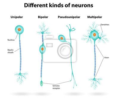 Diferentes Tipos De Neuronas Carteles Para La Pared Pósters Neuronas Núcleo Neurología Myloview Es