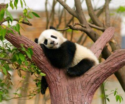 Póster Dormir bebé panda gigante