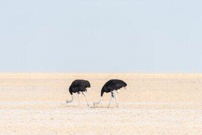 Dos avestruces machos, Struthio camelus, en Fischers Pan