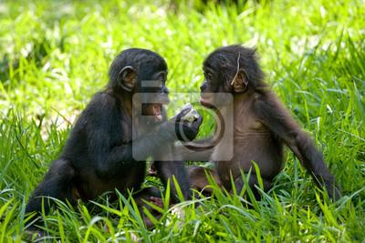 Dos bebé Bonobo sentado en la hierba. República Democrática del Congo. Parque Nacional Lola Ya BONOBO. Una excelente ilustración.