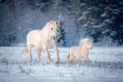 Póster Dos caballos blancos corriendo en el campo en invierno