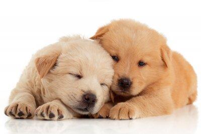 Póster Dos cachorros de Chow-chow lindo, aislados sobre fondo blanco