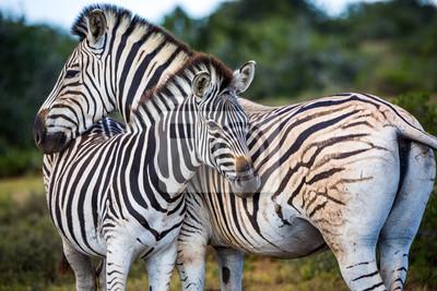 Dos cebras jugando con los demás, Sudáfrica.