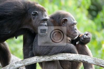 Dos chimpancés en una rama. Marco divertido.
