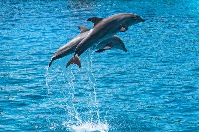 Póster Dos delfines saltan fuera del agua azul