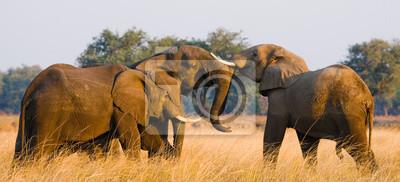 Dos elefantes jugando con el otro. Zambia. Parque Nacional del Bajo Zambeze. Río zambeze Una excelente ilustración.