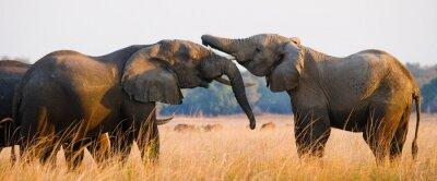Póster Dos elefantes jugando con el otro. Zambia. Parque Nacional del Bajo Zambeze. Río zambeze Una excelente ilustración.