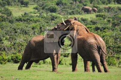 Dos elefantes luchan, el Parque Nacional de Elefantes Addo, South Afric