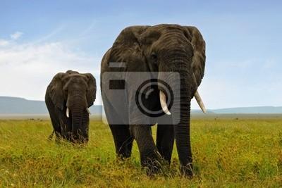 Dos Elefants adulto africano caminar en sabana
