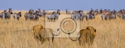 Dos grandes leones machos en la caza. Parque Nacional. Kenia. Tanzania. Masai Mara. Serengeti. Una excelente ilustración.