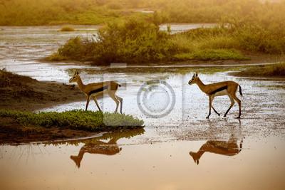 Dos Impala en la charca en Amboseli