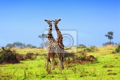 Dos jirafas en la sabana africana