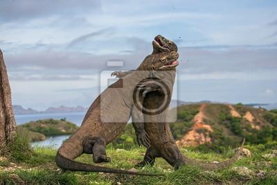 Dos Komodo dragón lucha entre sí.