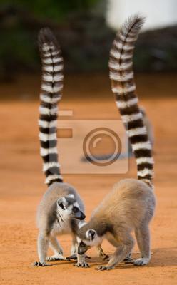 Dos lemurs ring-tailed que se colocan en la tierra. Madagascar. Una excelente ilustración.