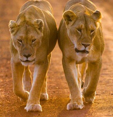 Póster Dos leonas caminando en la carretera en el parque nacional. Kenia. Tanzania. Maasai Mara. Serengeti. Una excelente ilustración.