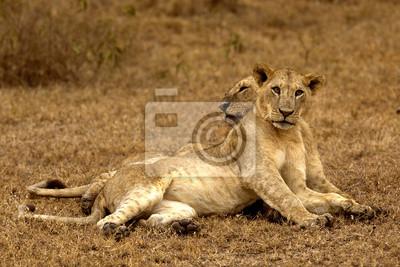 dos leones que yacen en Nakuru