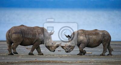 Dos nose rinoceronte con nariz. Kenia.