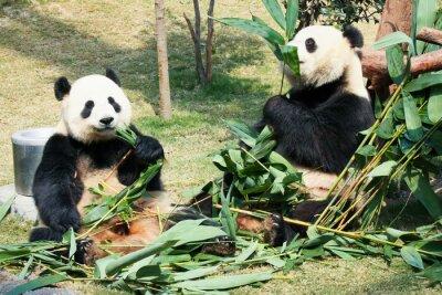 Póster Dos pandas comiendo bambú