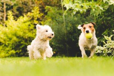 Póster Dos perros jugando con una pelota.
