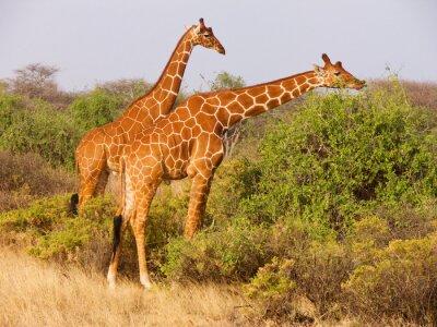 Póster Dos, reticulado, jirafa, comida, hojas, arbustos