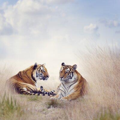 Póster dos tigres