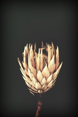 Póster dried exotic flowers Protea on black background closeup vintage toned. poster