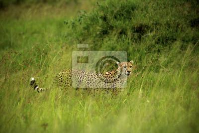 El acecho del guepardo en la hierba alta. Masai Mara, Kenia