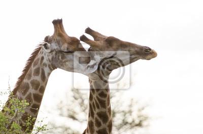 El afecto de la jirafa