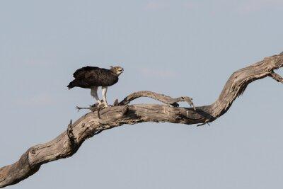 El águila marcial asesina a Guinea Fowl