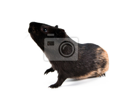 El conejillo de Indias se encuentra en las patas traseras (rampas). Aislado en blanco ba
