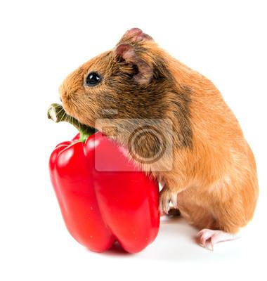 el conejillo de Indias y una pimienta roja