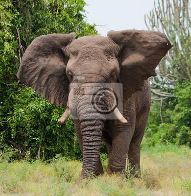 El elefante en la sabana. Uganda.