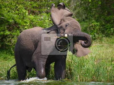 El elefante es en el agua. Uganda.